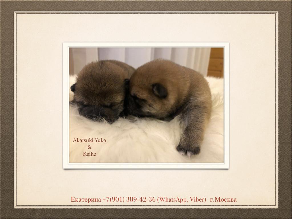 Щенки от пары AKATSUKI YUKA и KEIKO, потомков лучшей собаки Японии, удостоенной звания ИЧИБАН 2010, рожденные 27.11.2020г.  2_o_ez10