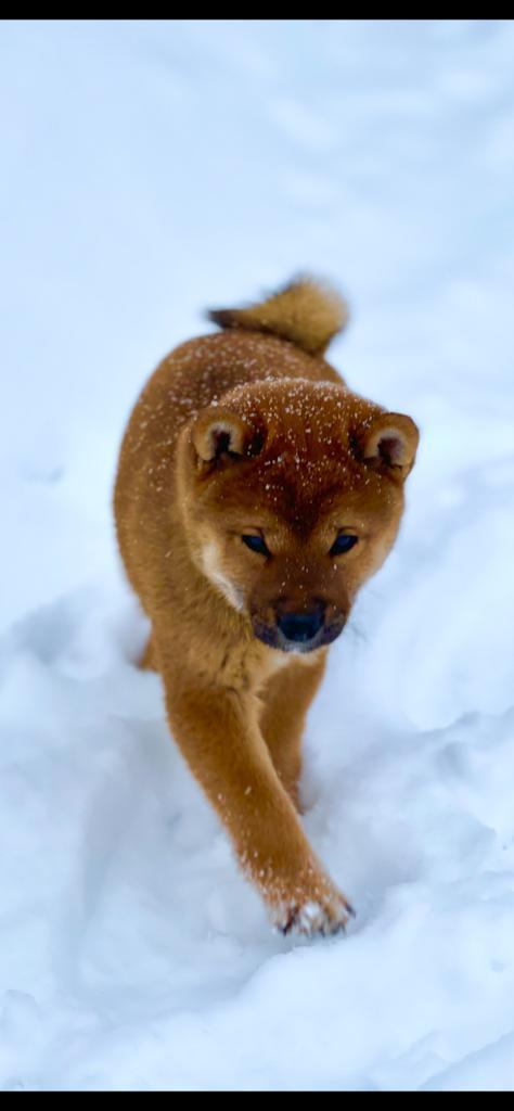Щенки от пары AKATSUKI YUKA и KEIKO, потомков лучшей собаки Японии, удостоенной звания ИЧИБАН 2010, рожденные 27.11.2020г.  8428a511