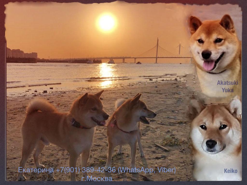 Щенки от пары AKATSUKI YUKA и KEIKO, потомков лучшей собаки Японии, удостоенной звания ИЧИБАН 2010, рожденные 27.11.2020г.  __ya_212