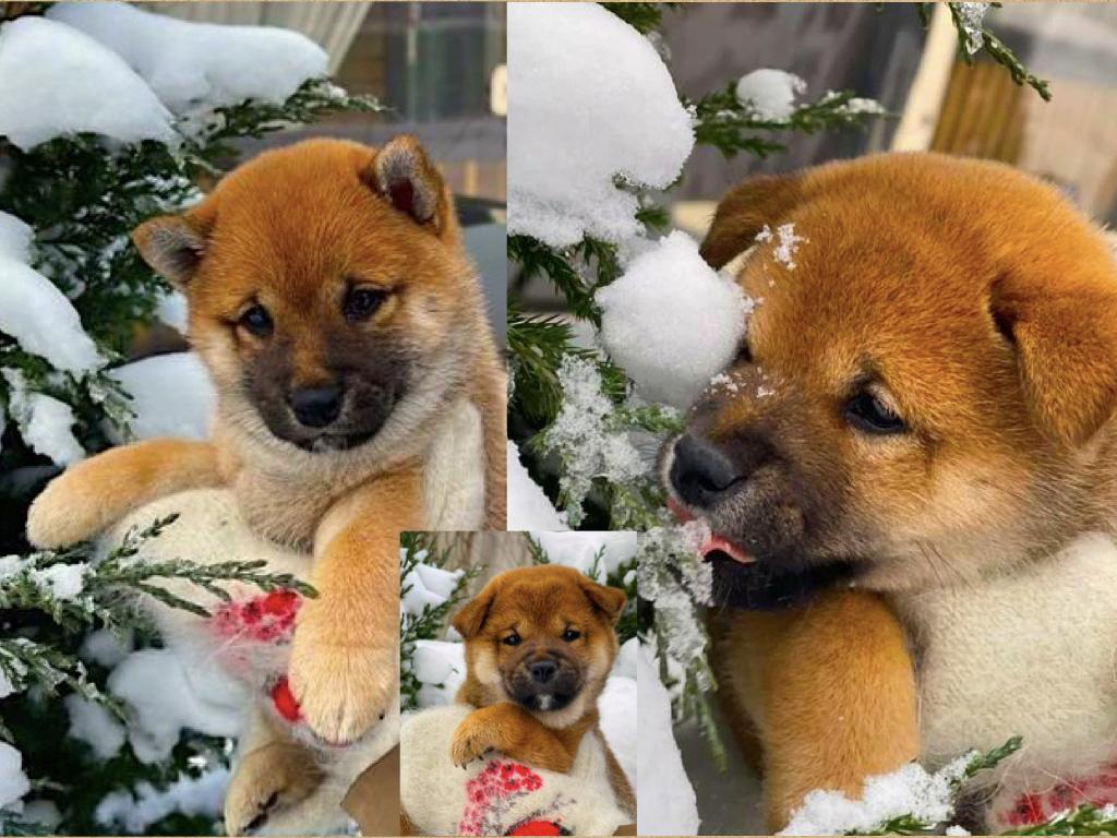 Щенки от пары AKATSUKI YUKA и KEIKO, потомков лучшей собаки Японии, удостоенной звания ИЧИБАН 2010, рожденные 27.11.2020г.  O_ao_e10