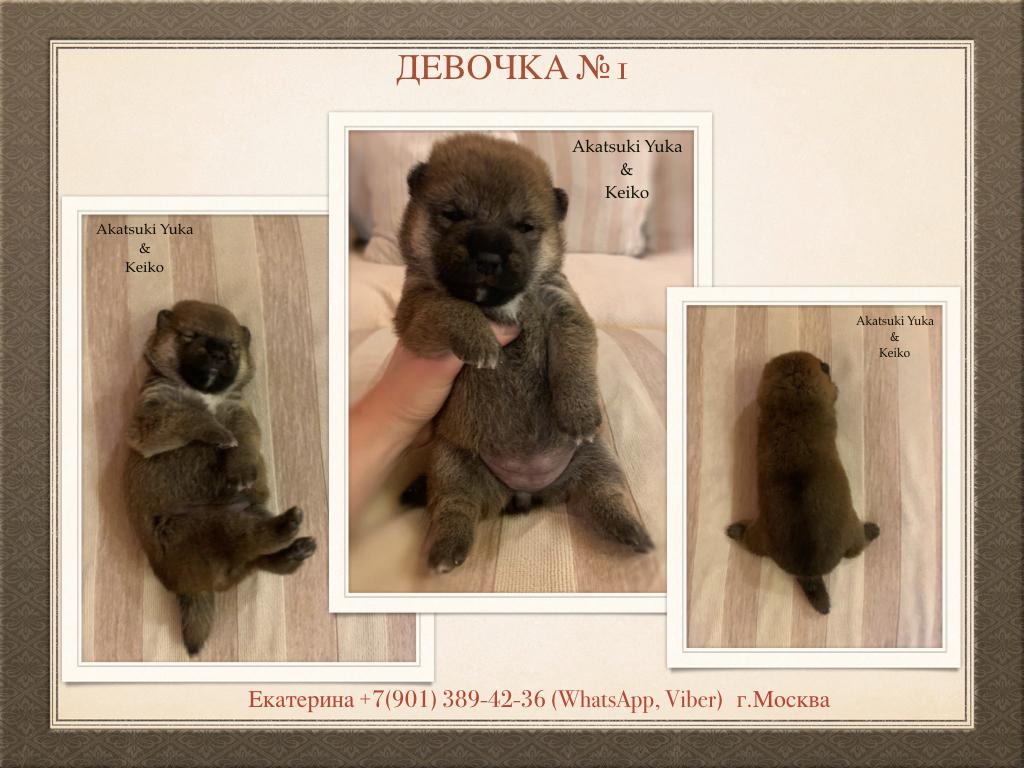 Щенки от пары AKATSUKI YUKA и KEIKO, потомков лучшей собаки Японии, удостоенной звания ИЧИБАН 2010, рожденные 27.11.2020г.  S_a_1_10