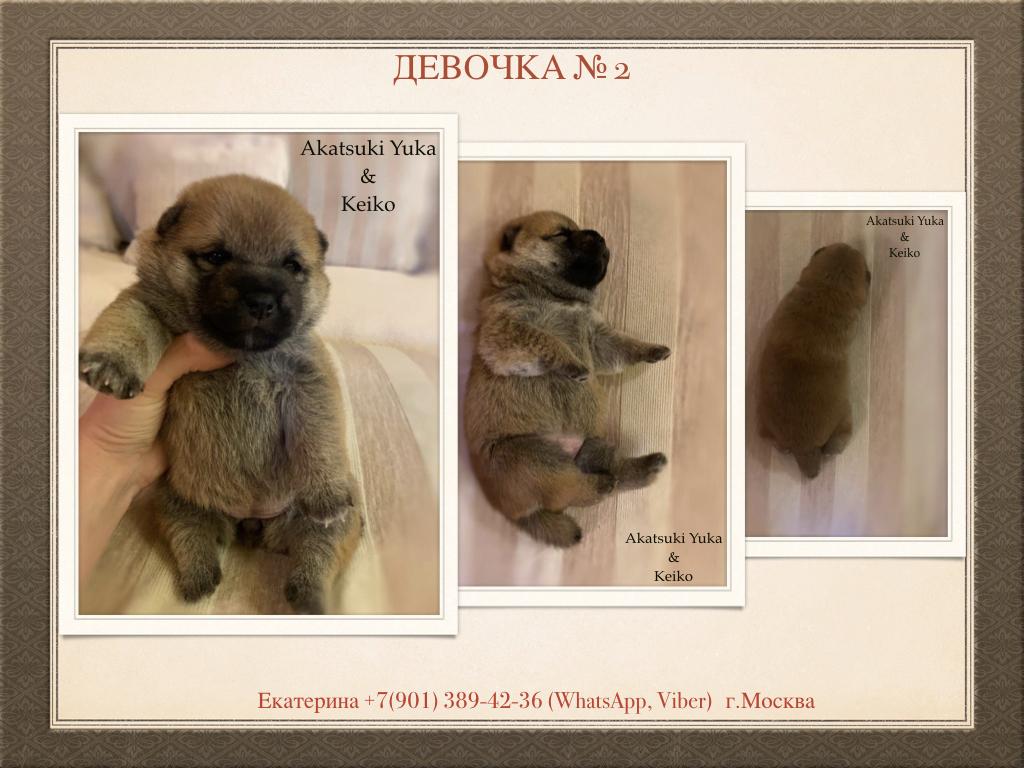 Щенки от пары AKATSUKI YUKA и KEIKO, потомков лучшей собаки Японии, удостоенной звания ИЧИБАН 2010, рожденные 27.11.2020г.  S_a_2_10