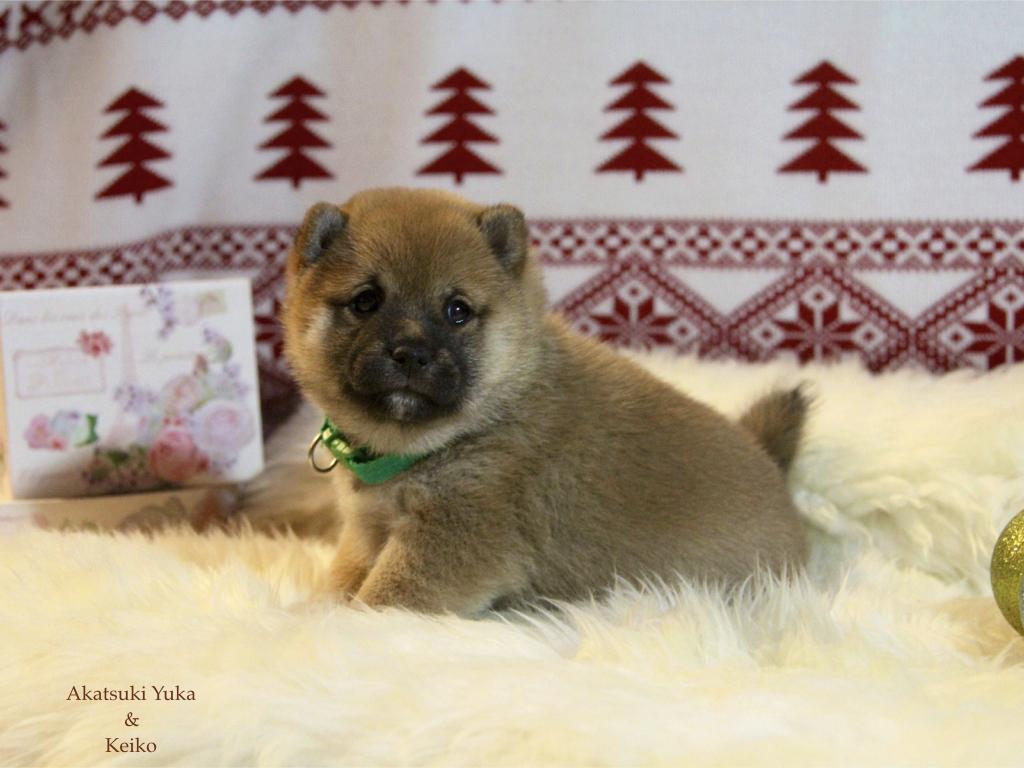 Щенки от пары AKATSUKI YUKA и KEIKO, потомков лучшей собаки Японии, удостоенной звания ИЧИБАН 2010, рожденные 27.11.2020г.  S_a_2_12