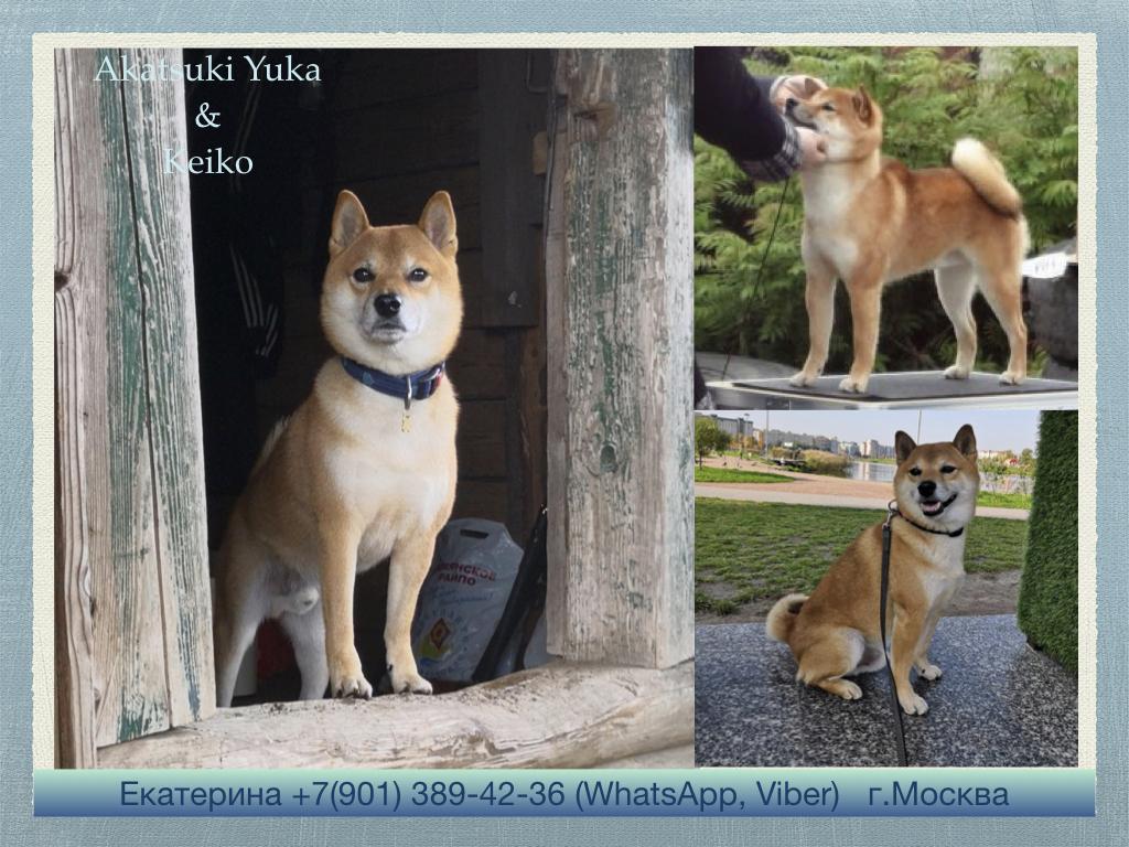 Щенки от пары AKATSUKI YUKA и KEIKO, потомков лучшей собаки Японии, удостоенной звания ИЧИБАН 2010, рожденные 27.11.2020г.  Ya_aaa10