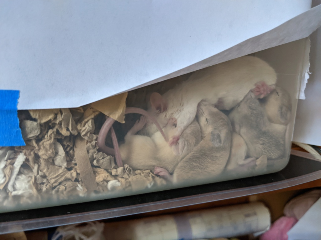Offering male and/or female mice in Bay Area, CA Pxl_2012