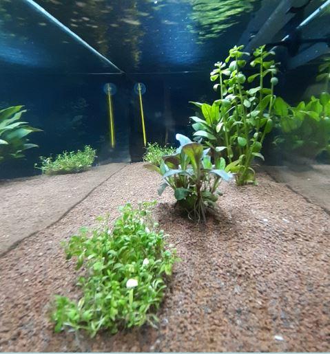[Aquascaping] Algues vertes  Debut12