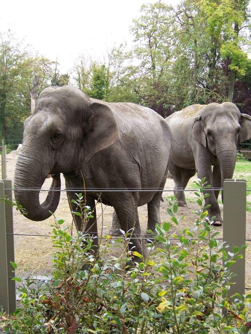 Les elephants (Elephas maximus) 100_3311