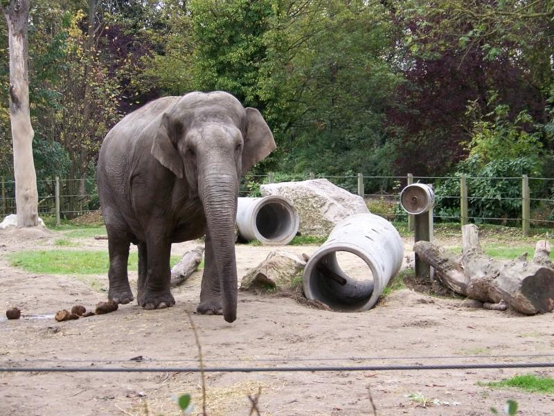 Les elephants (Elephas maximus) 100_3312