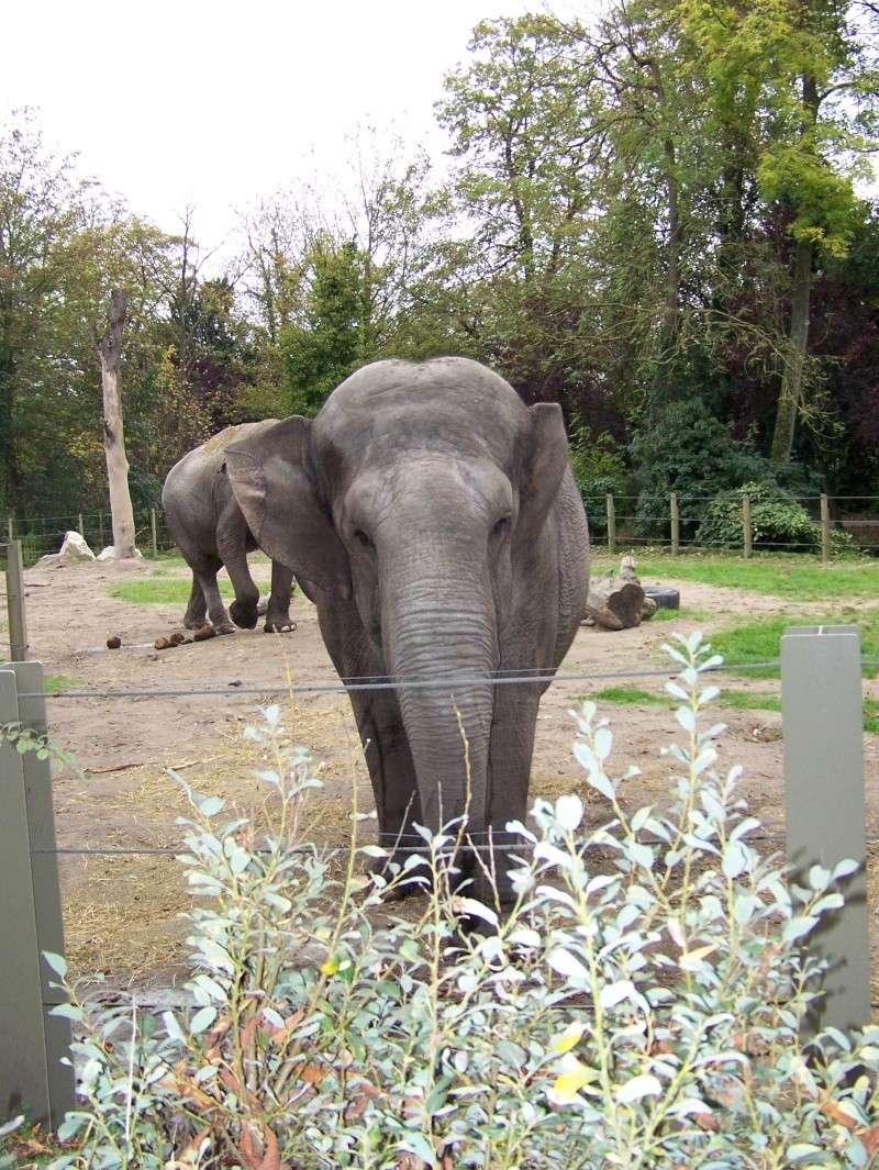 Les elephants (Elephas maximus) 100_3313