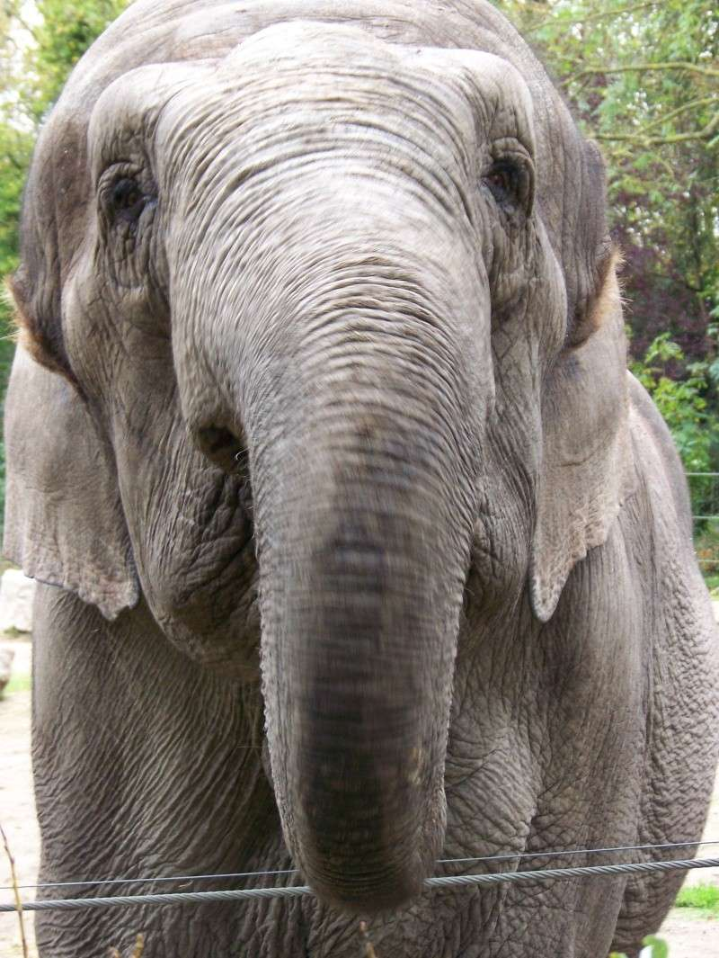 Les elephants (Elephas maximus) 100_3314