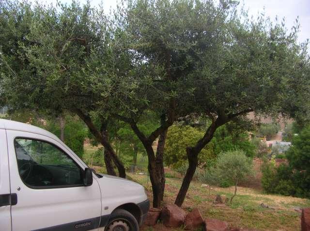 Taille des oliviers Dscn6510