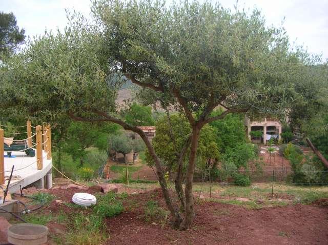 Taille des oliviers Dscn6511