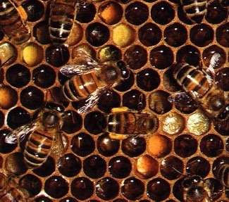 Le miel Alveol10