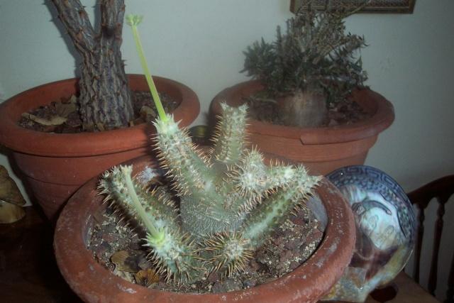 Pachypodium rosulatum Pachyp11