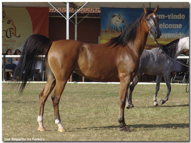 Le cheval arabe Arabe10