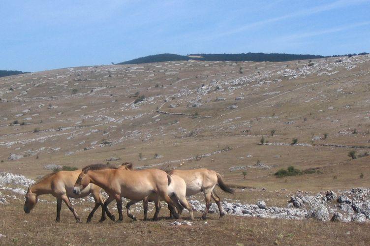 Origine éthymologique du cheval de Przewalski Prewal14