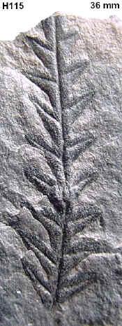 Alethopteris Sternberg 1825. 115a-a10