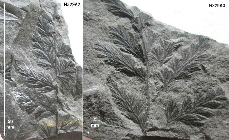 Rhodeites  Urnatopteris   329a-r10