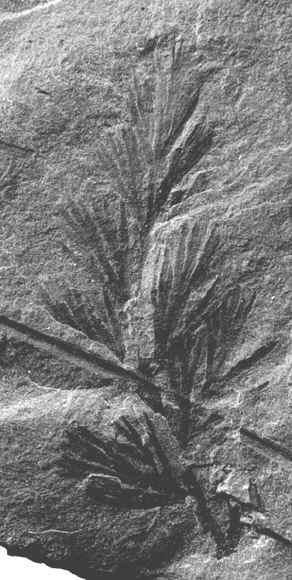 Rhodeites  Urnatopteris   Coeman11