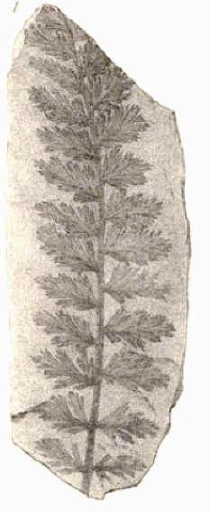 Rhodeites  Urnatopteris   Coeman13