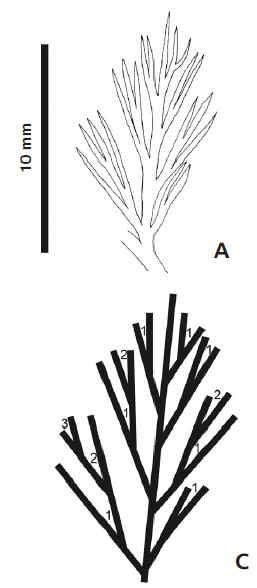 Rhodeites  Urnatopteris   Gutbie10