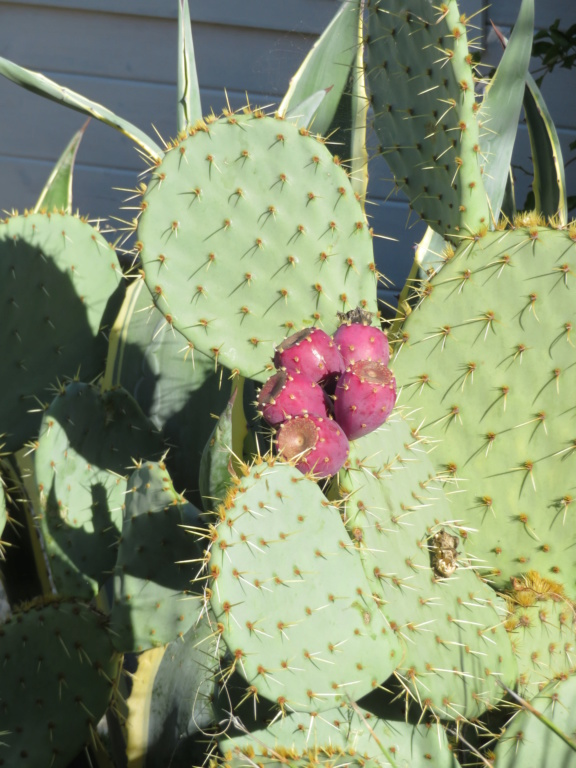 Jardin 2019 ! - Page 7 Cactus10
