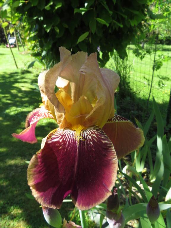 identification d'un iris bicolore Iris_b12
