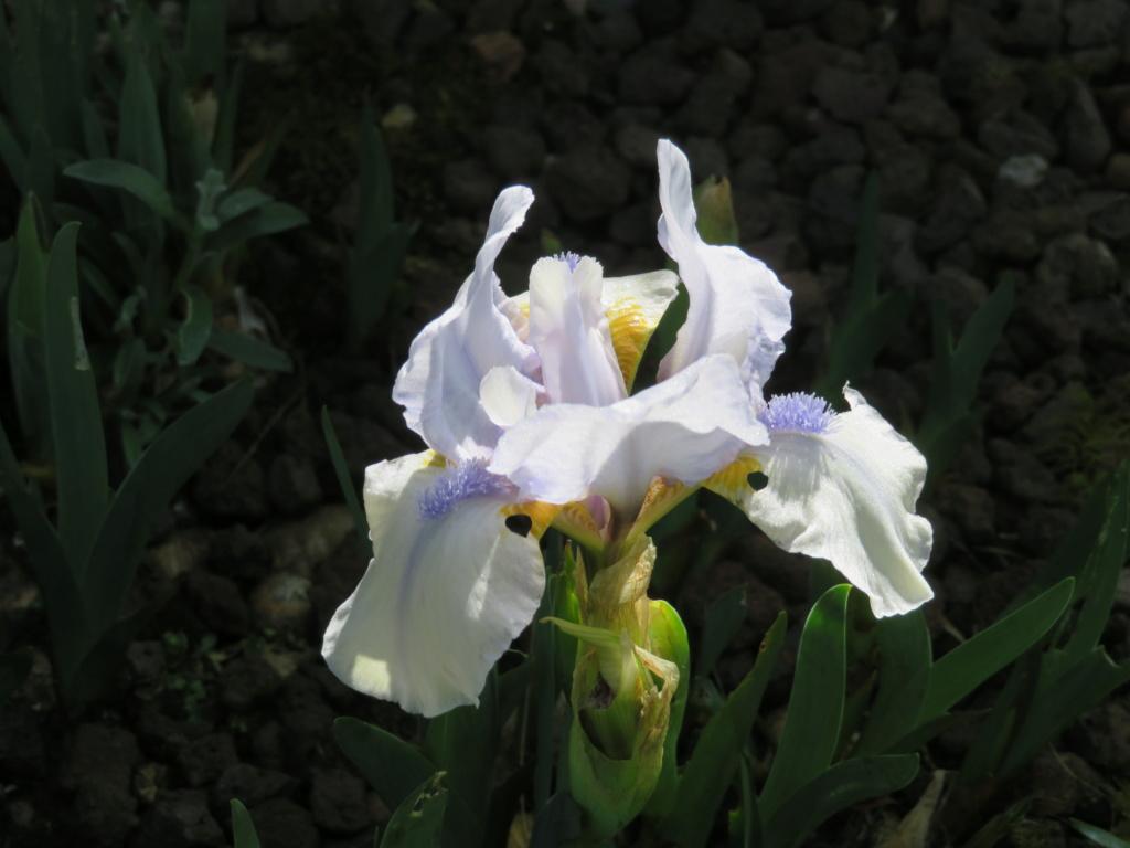 Premières floraisons Iris_c15