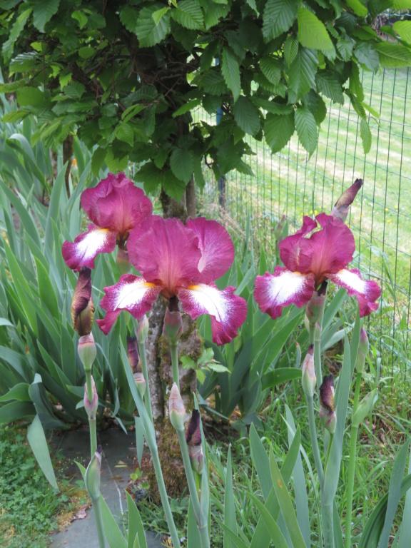 Jardin 2020 ! - Page 4 Iris_c16