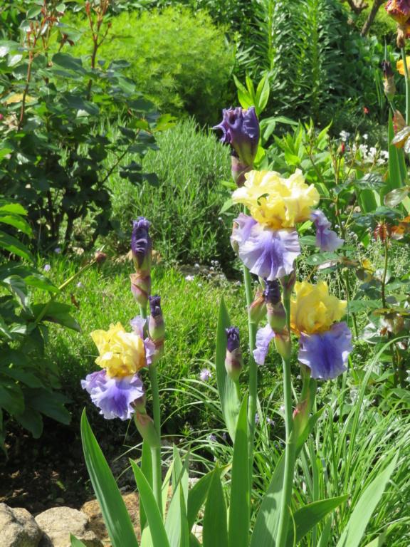Jardin 2020 ! - Page 5 Iris_e15