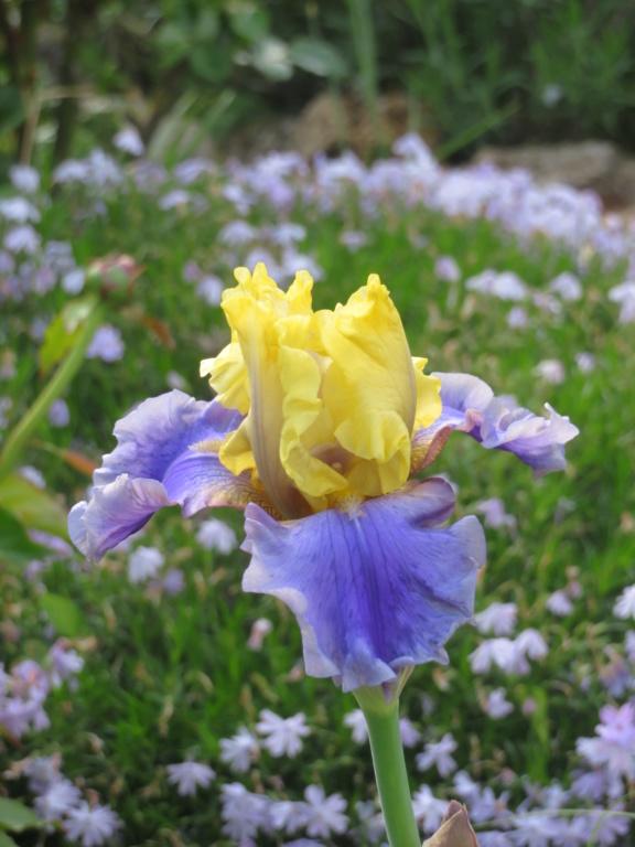 qui est ce bel iris ? Iris_m13