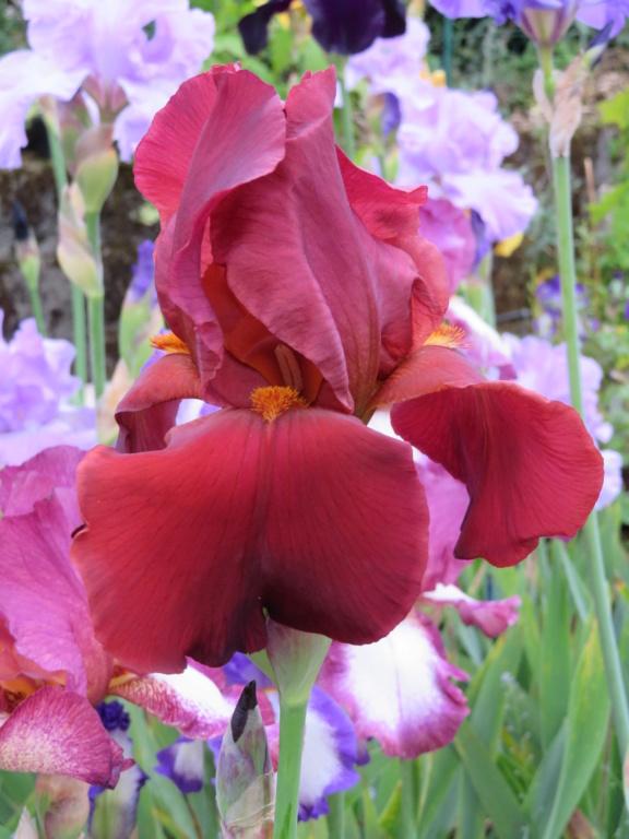 2 autres , toujours issus du jardin ouvrier Iris_r15