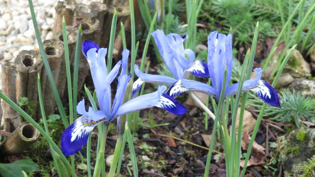 Iris reticulata , printemps annoncé ! Iris_r16