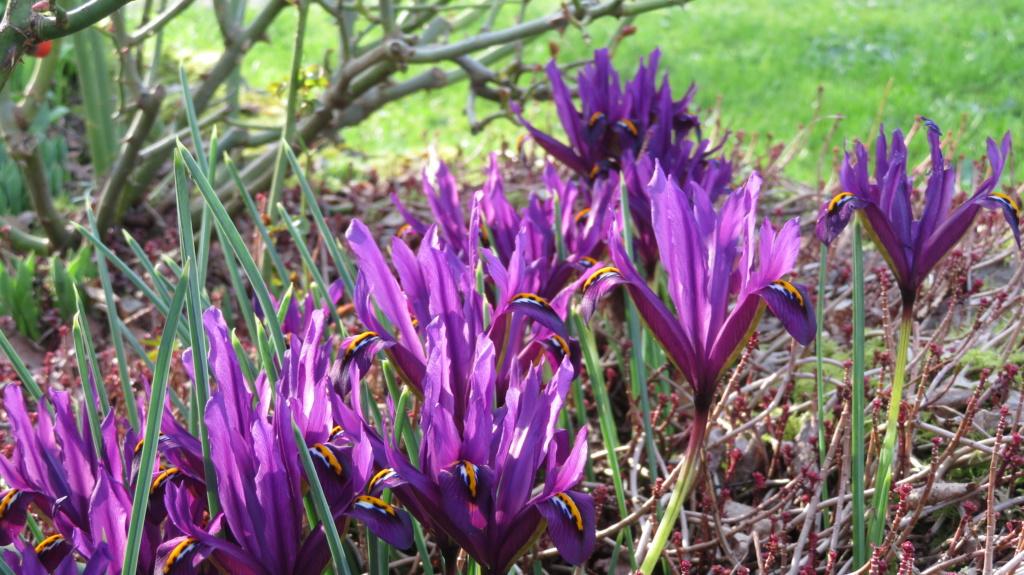 Iris reticulata , printemps annoncé ! Iris_r19