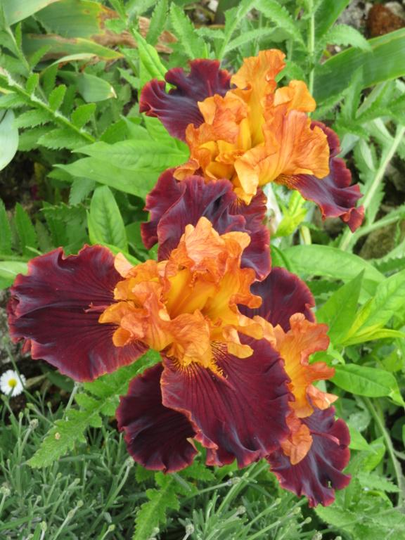 Jardin 2019 ! - Page 3 Iris_s17