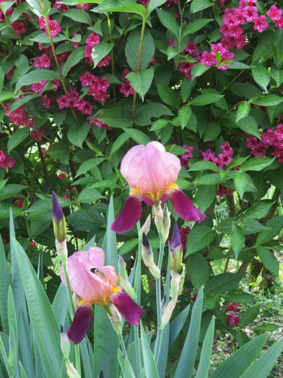 Jardin 2020 ! - Page 5 Iris_s27