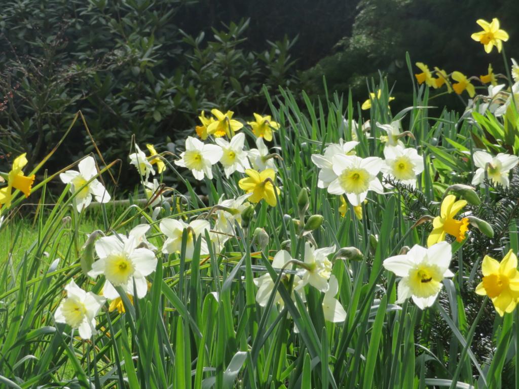 Quelques photos  des Narcisses 2020 Jardin81
