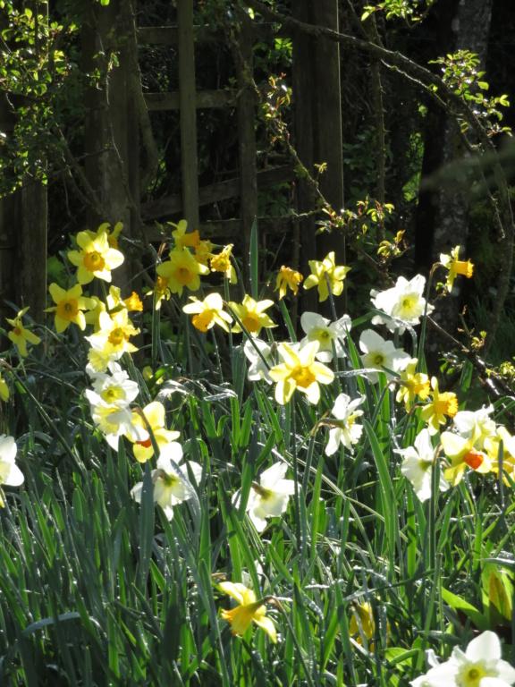 Quelques photos  des Narcisses 2020 Jardin82