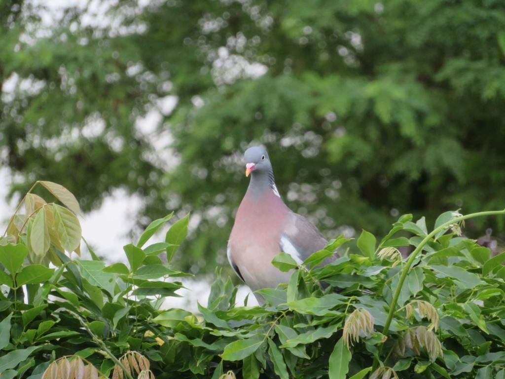 oiseaux .... Pigeon11