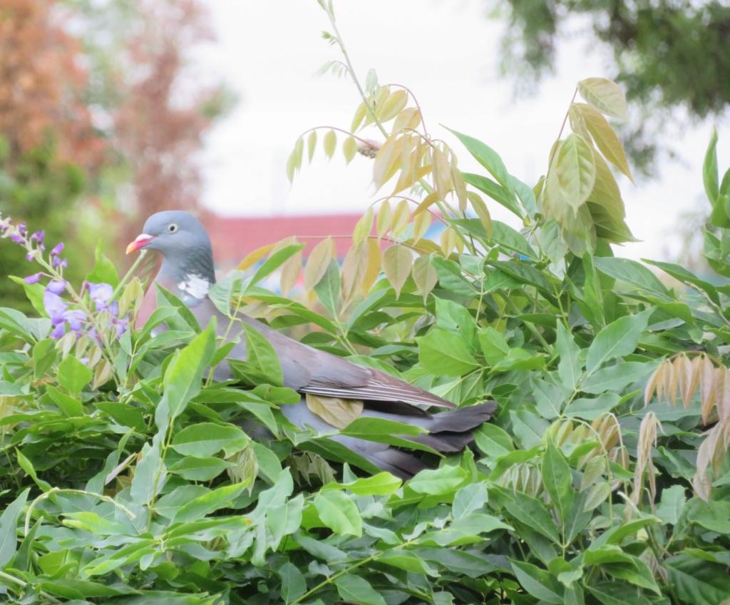 oiseaux .... Pigeon13