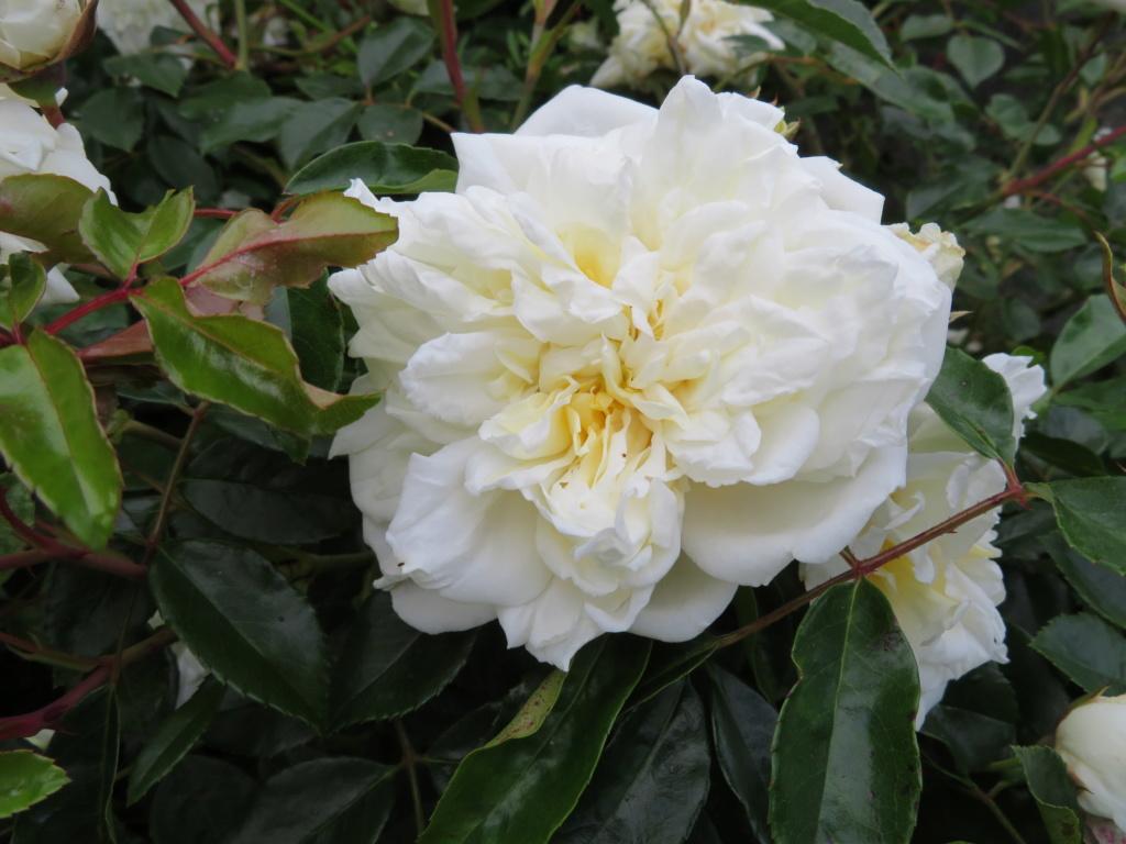 Jardin 2019 ! - Page 4 Rose_a10