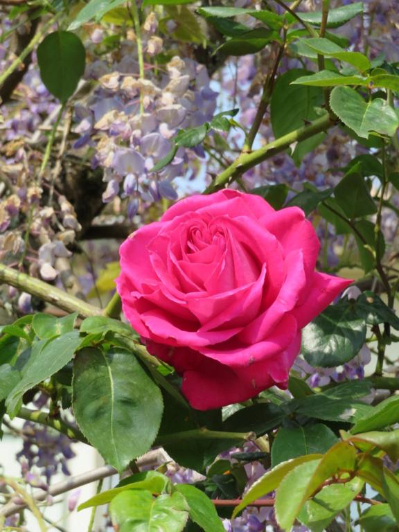 Jardin 2019 ! - Page 2 Rose_b10