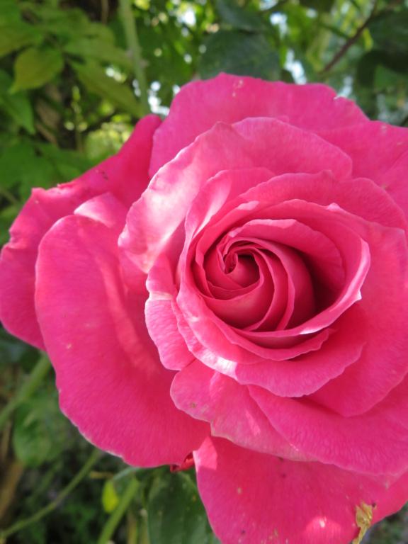 Jardin 2019 ! - Page 4 Rose_b11