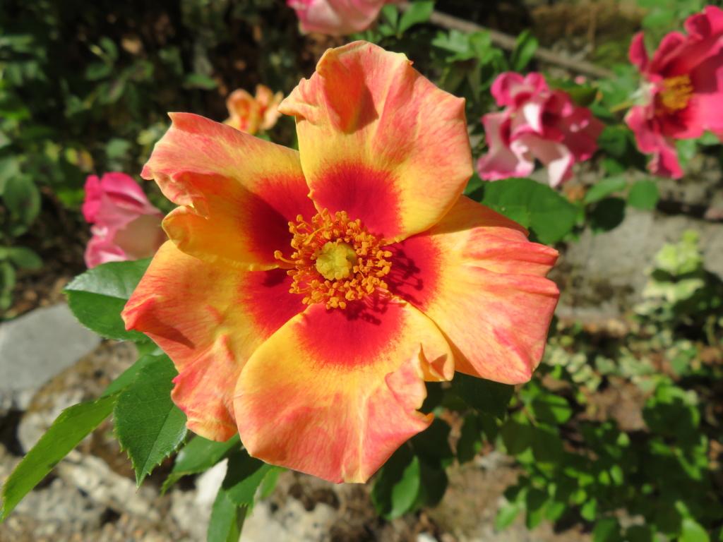 Jardin 2019 ! - Page 7 Rose_b14