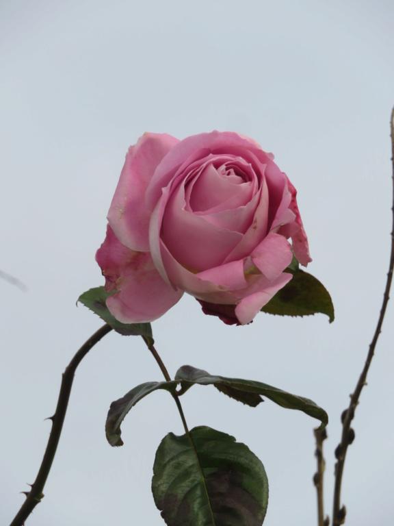Jardin 2020 ! Rose_b15