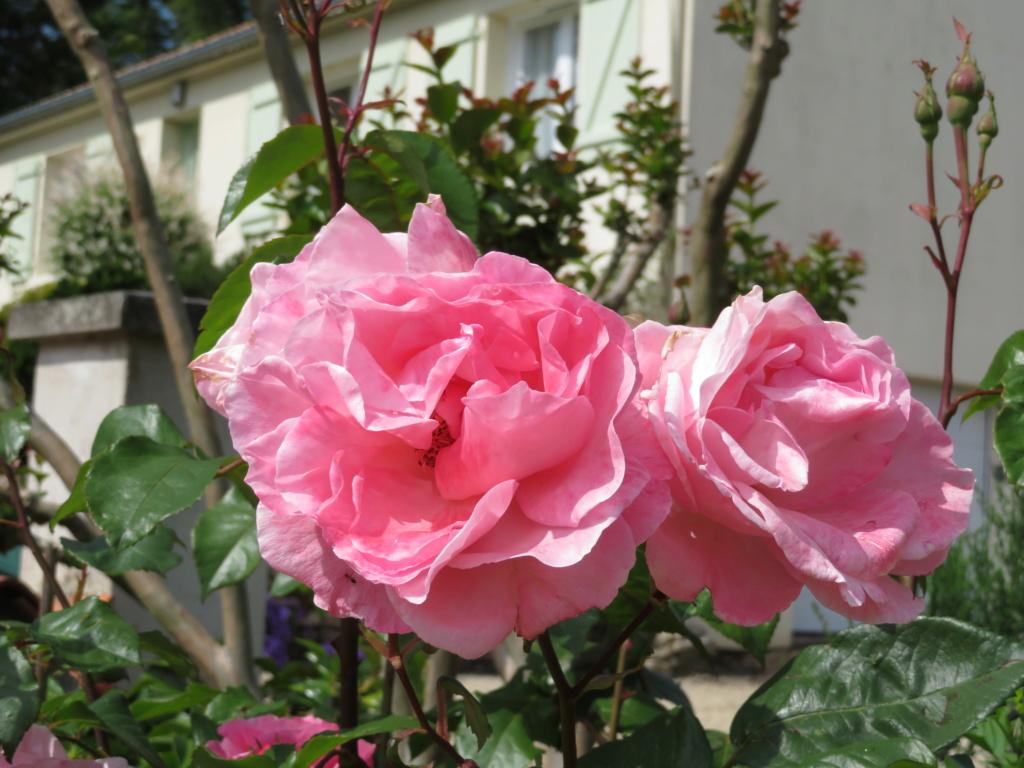 Jardin 2019 ! - Page 4 Rose_c10