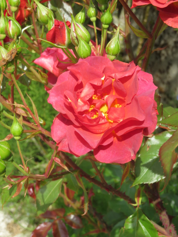 Jardin 2019 ! - Page 4 Rose_c11