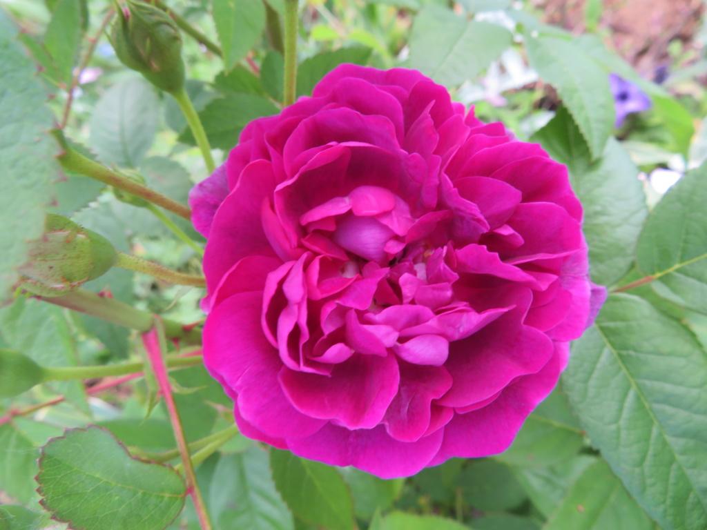 Jardin 2020 ! - Page 6 Rose_d12