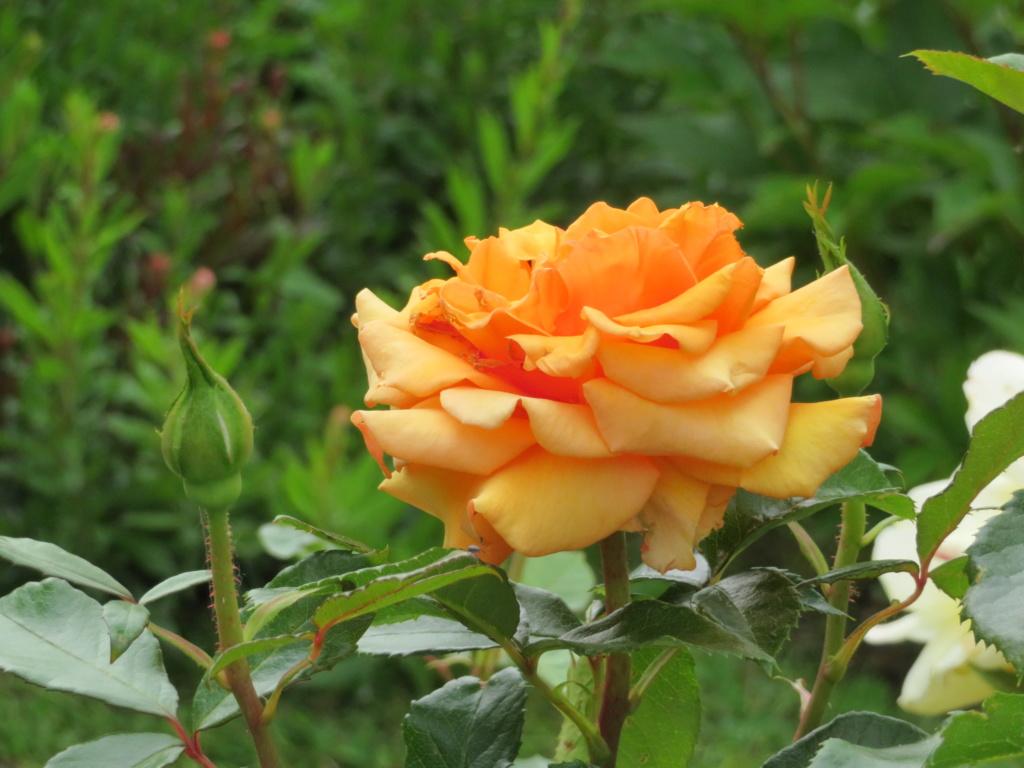 Jardin 2019 ! - Page 4 Rose_f10