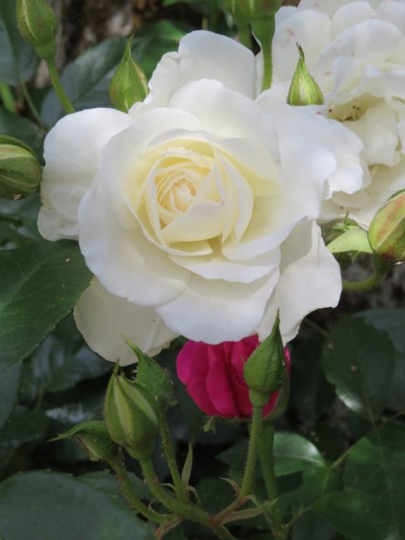 Jardin 2019 ! - Page 4 Rose_i10